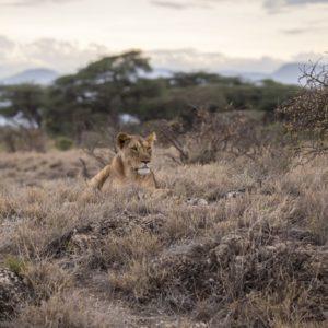 vakantie zuid afrika hoogtepunt leeuw